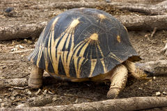 Tortoise in nosy be Royalty Free Stock Photography
