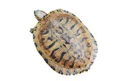 Tortoise. Object turtle on white background Royalty Free Stock Image