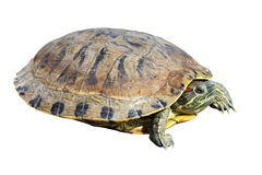 Tortoise. Object turtle on white background Royalty Free Stock Photo