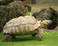 Tortoise odprowadzenie Zdjęcie Stock