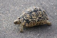 Tortoise odprowadzenie przez drogę Obrazy Stock