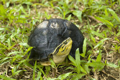 The tortoise out from the shell Royalty Free Stock Photography