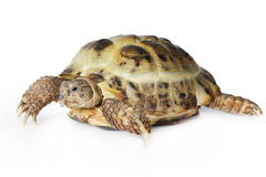 Tortoise over white Royalty Free Stock Images