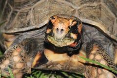 Tortoise pagato rosso Immagini Stock