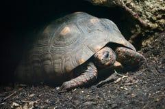 Tortoise pagato rosso Fotografia Stock