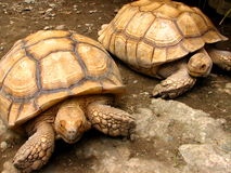 Tortoise Pair. A pair of tortoise at Manila Zoo Stock Images