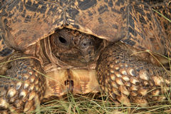 Tortoise. Peeping from its shell.  Textures and colors from a Stock Photo