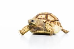 Tortoise pet turtle. Turtle isolated on white background Royalty Free Stock Images