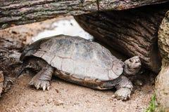 Tortoise pod drewnami Fotografia Royalty Free