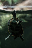 Tortoise poking her head out of the water to breath, turtle in c Stock Photography