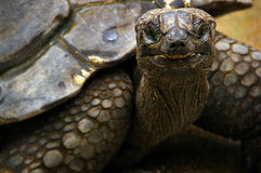 Tortoise Portrait Royalty Free Stock Images