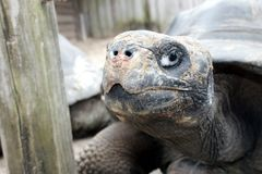 Tortoise Portrait. A close view of a tortoise in a zoo. He looks frustrated and impatient Royalty Free Stock Photography
