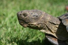 Tortoise profile Stock Photo
