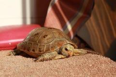 Tortoise prolungato Immagini Stock