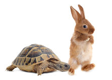 Tortoise and rabbit. Testudo hermanni tortoise and rabbit make a race on a white isolated background