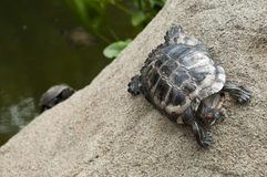 Tortoise in race Stock Image