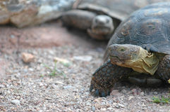 Tortoise Race Royalty Free Stock Photography