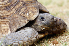 Tortoise recoiling into shell. A single tortoise recoiling into his shell Stock Image