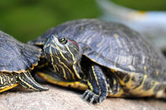 Tortoise - Red-eared Slider. Red-eared Slider tortoise on a rock Royalty Free Stock Photo