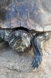 Tortoise - Red-eared Slider. Red-eared Slider tortoise on a rock Stock Photography