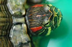 Tortoise Red-eared Sliders Stock Photography