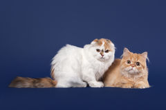 Tortoise and red scottish highland cats Royalty Free Stock Photo
