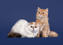 Tortoise and red scottish highland cats Royalty Free Stock Photography