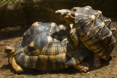 Tortoise reprodukuje w pustyni zdjęcie royalty free