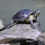 Tortoise. A Tortoise Resting on a Rock Beside a Pond Royalty Free Stock Photo