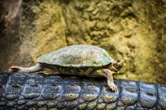 Tortoise riding on a back of a Gharial Royalty Free Stock Photography
