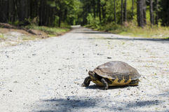 The tortoise in the road. The tortoise stands in the road, contemplating the journey before him Stock Photo
