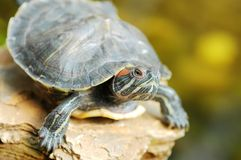 Tortoise on rock Stock Image
