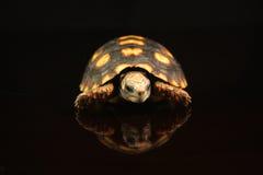 tortoise Rosso-footed Immagine Stock Libera da Diritti