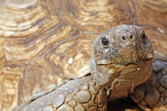 Tortoise's face. Close up of a tortoise's head / face Royalty Free Stock Image