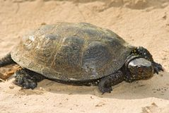 Tortoise on a sand Stock Image