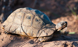 Tortoise in the sand Stock Images