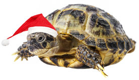 Tortoise with santa cap Stock Photo
