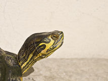 Tortoise. Sea tortoises head with yellow and green nuance Royalty Free Stock Photo