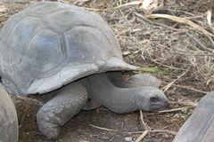 Tortoise from the Seychelles Stock Image
