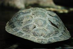 Tortoise shell. Detail of texture on tortoise shell Stock Photo