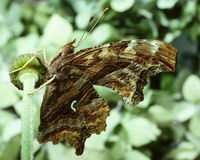 Tortoise shell butterfly Royalty Free Stock Photos