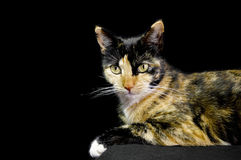 Tortoise shell cat against a black background Stock Images