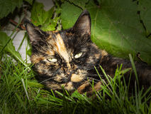 Tortoise shell cat Stock Images