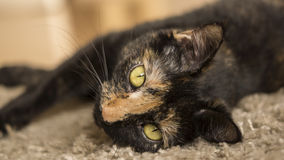 Tortoise shell cat lying on carpet. Female totoise shell cat lying on carpet looking towards camera Stock Images