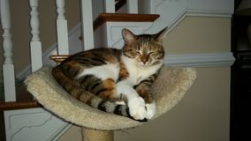 Calico cat. Molly. Sleeping on her cradle atop her cat tower Royalty Free Stock Photography