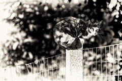 A tortoise-shell female cat looking at camera perched between tw Royalty Free Stock Photography