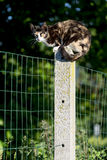 Tortoise-shell female cat looking at camera perched between two Stock Photography
