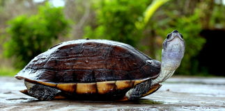 Tortoise. Shell playing on floor with head out Stock Image