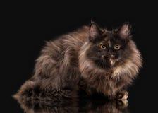 Tortoise siberian kitten on black background Stock Images