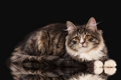 Tortoise siberian kitten on black Royalty Free Stock Image